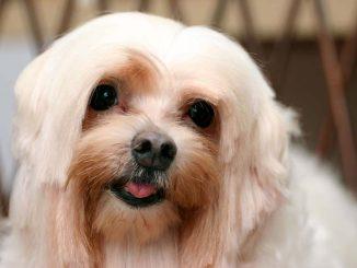 pes maltézáček
