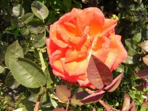střih růží