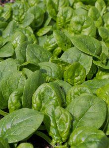 salat sazenice