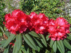 Rhododen