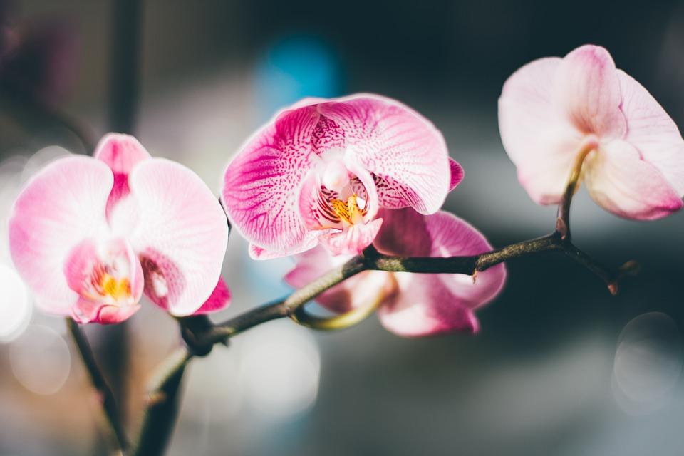 orchidej murovec