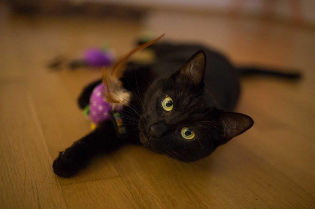 brit kote s hrackou