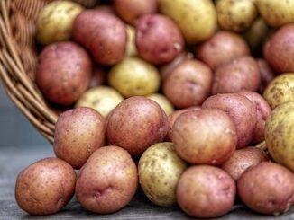 uroda brambor